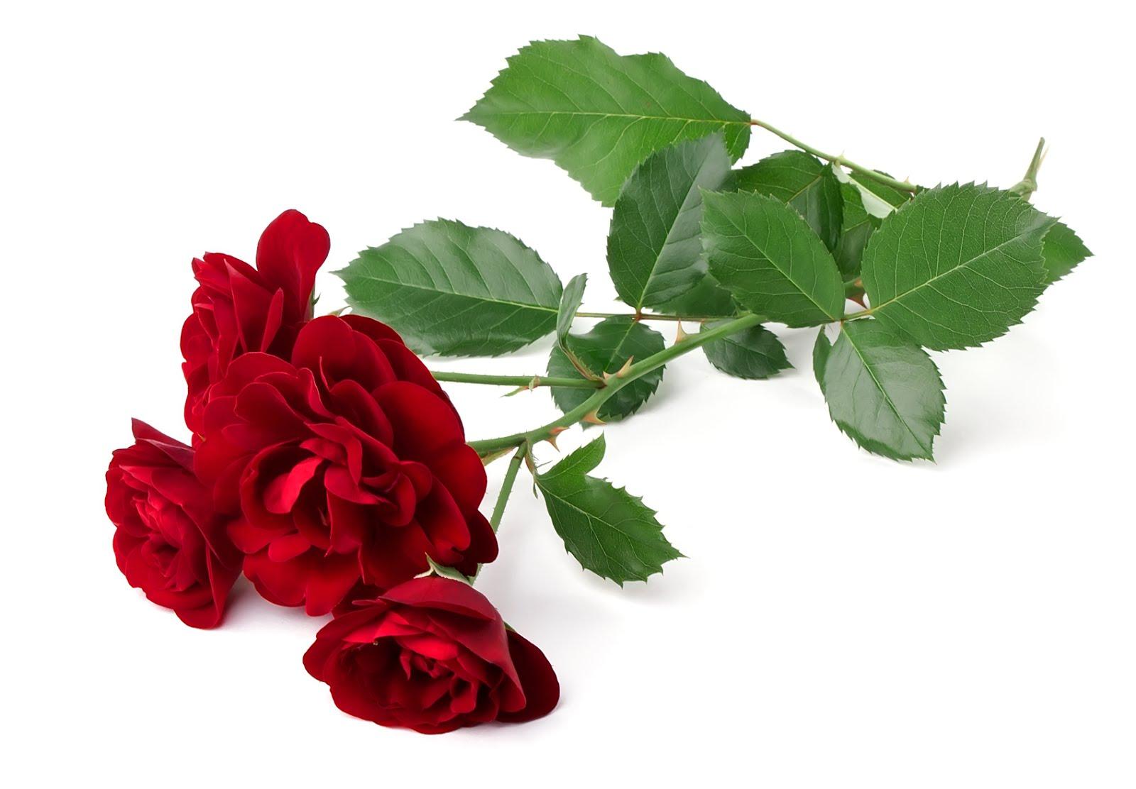 Fotos de flores y rosas para fondo de pantalla del celular y  - Imagenes De Rosas De Amor Gratis
