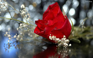 Red+rose+with+blurry+background, Flower images; Beautiful Fresh leaves; Roses; wallpapers; fresh flowers; Beautiful flowers; Wide screen wallpapers