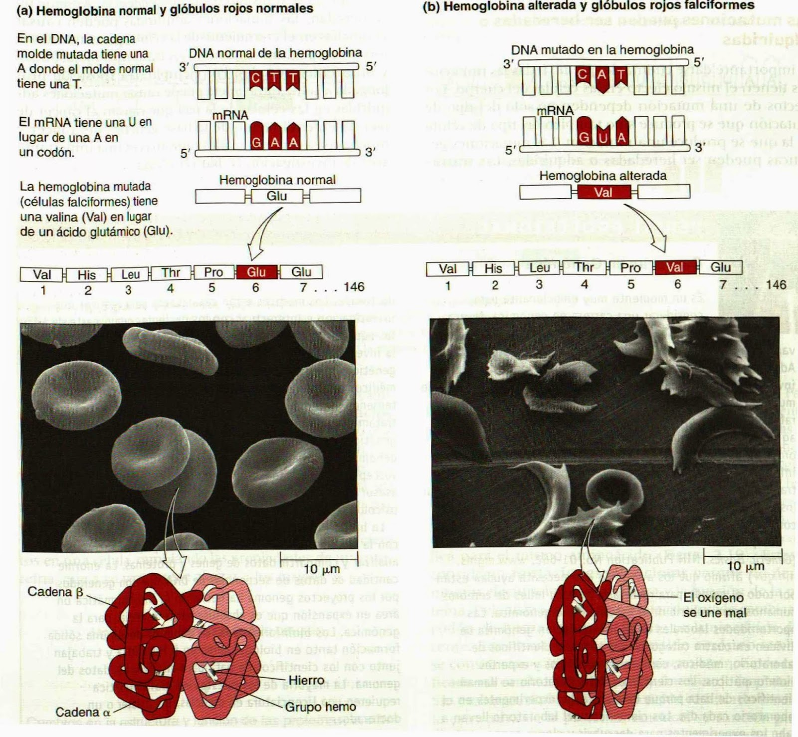 Mutaciones: causas y consecuencias   Apuntes de Biotecnología