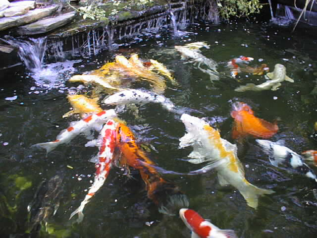 Pond designs for Pool converted koi