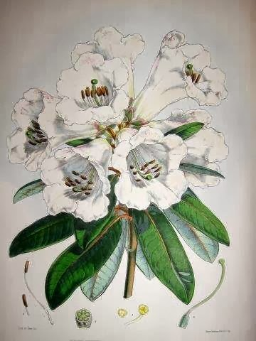 "From Hooker's ""Rhododendrons..."""