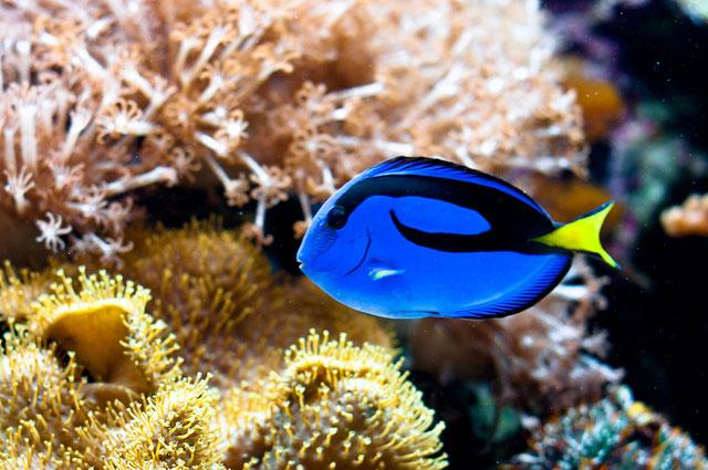 Zebrasoma Gemmatum D' Ocean Aquarium: Ika...