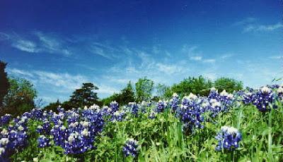 fotos de flores - flores azules