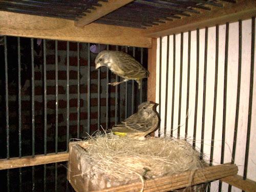 Hobi Ternak Burung Unik Spesialis Peas Telur Paruh