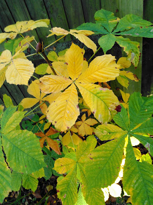 Horse Chestnut Yellow