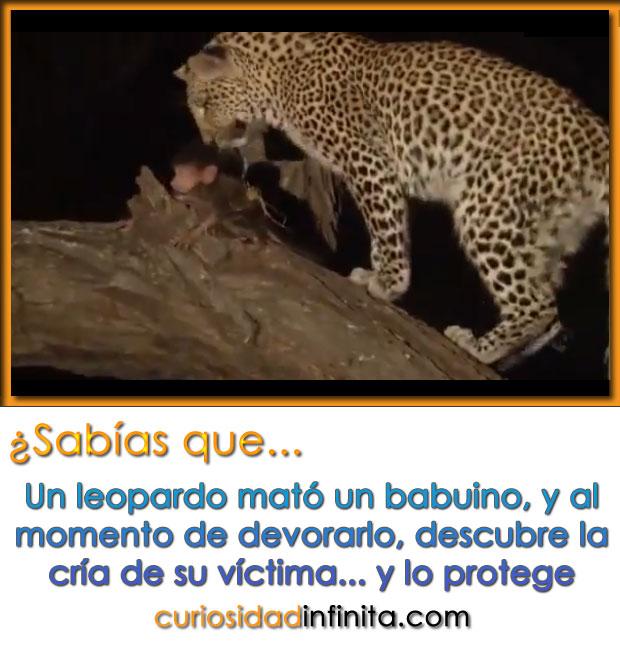 Un leopardo mata a un mono y cuando va a devorarlo descubre al bebé de su víctima y lo protege