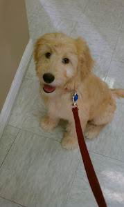 Abby The Goldendoodle