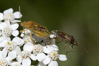 Para ampliar Stictopleurus sp., hacer clic