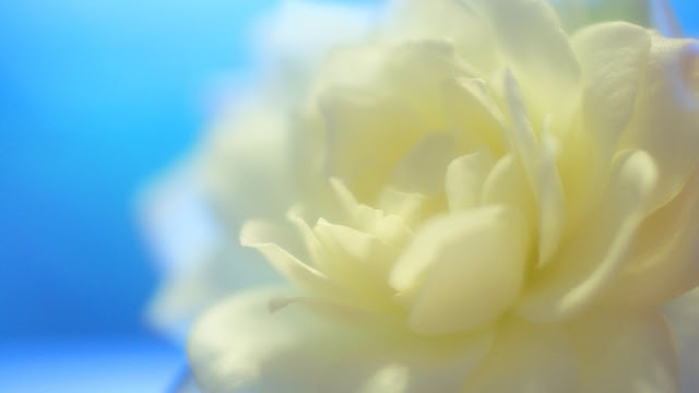 White Petals HD Wallpaper
