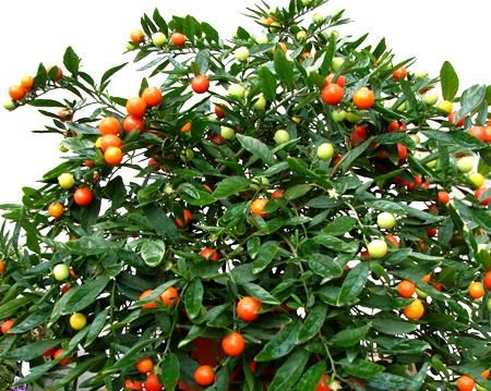 Piante e fiori solanum il ciliegio d 39 inverno for Piante rampicanti ornamentali