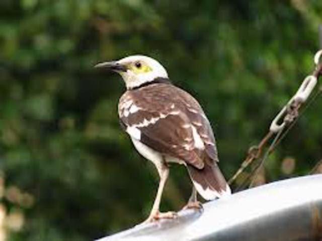 Foto Burung Cucak Kencur Terbaik