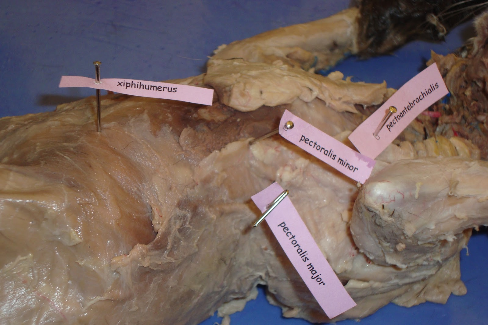 Cat Dissection Human Anatomy Cat Dissection Thorax