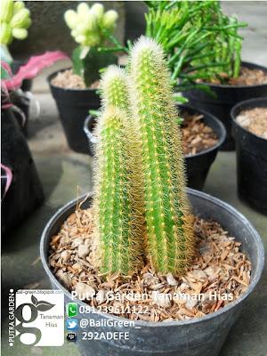 tanaman kaktus mini unik untuk dekorasi meja rumah anda