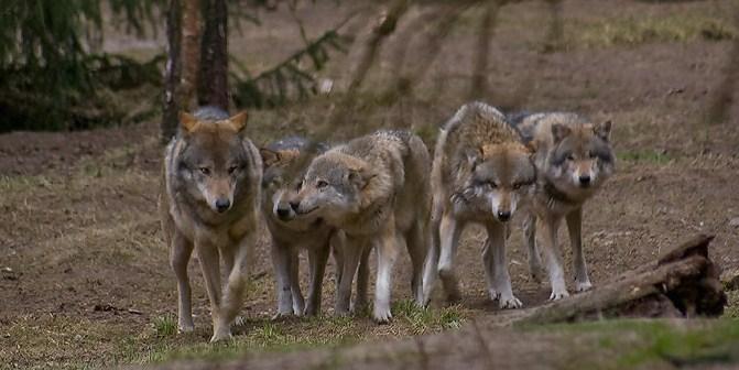 Wolftrackers