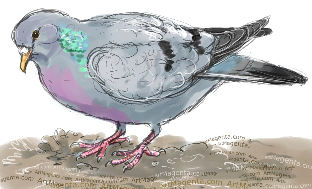 Stock Dove sketch painting. Bird art drawing by illustrator Artmagenta