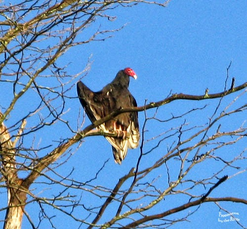 Turkey Vulture at Lake Odessa, Iowa