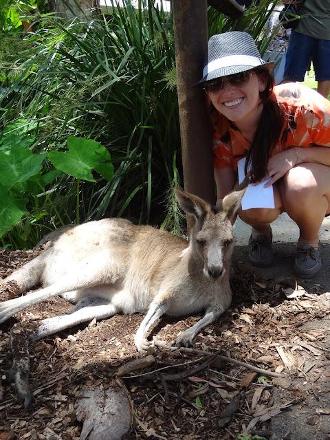 cairns australia kangaroo
