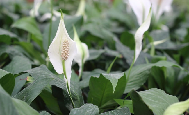Peace Lily Flowers Pictures