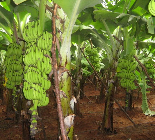 Banana Bunch Care And Methods To Maximize Bunch Size Tissue