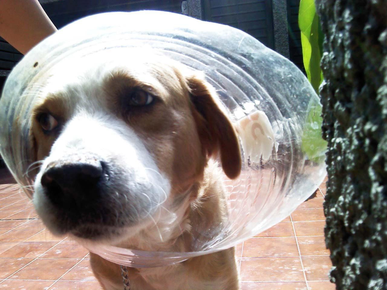 Cuello isabelino casero para mascotas mundo feliz for Como hacer un collar para perro