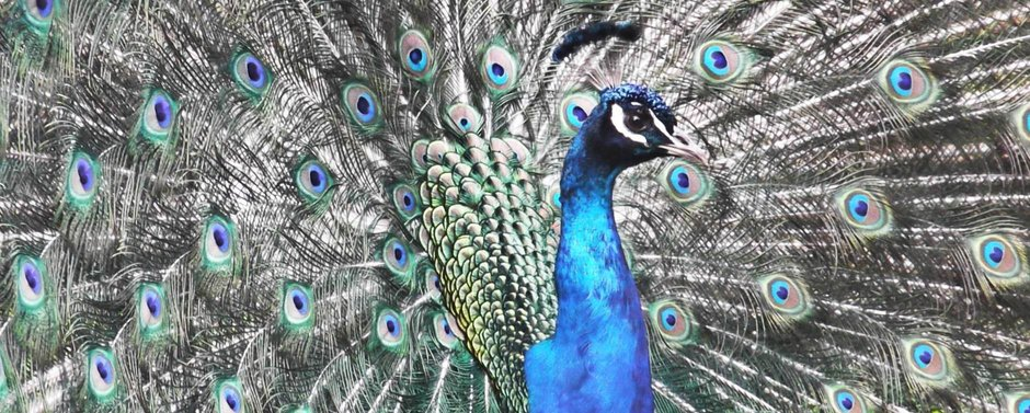 """THE PEACOCK'S VOICE"""