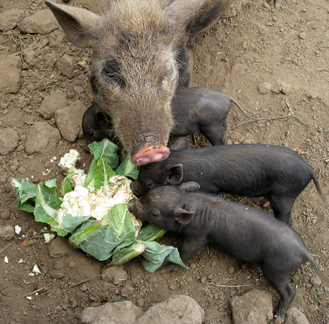 Little pet pigs august 2011 - What do miniature pigs eat ...