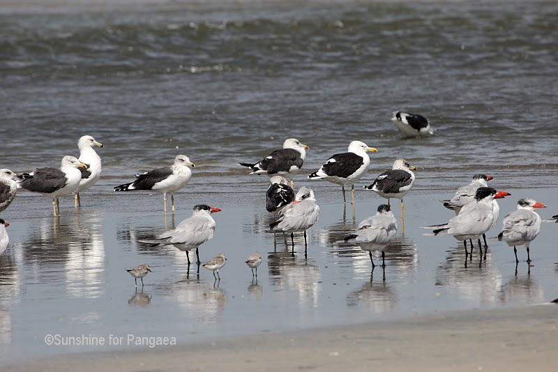 Gulls, terns and sanderlings in Gambia