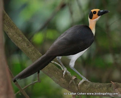 White Necked Rockfowl Bird 7