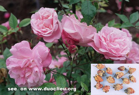 Chinese rose flower (Yuejihua)