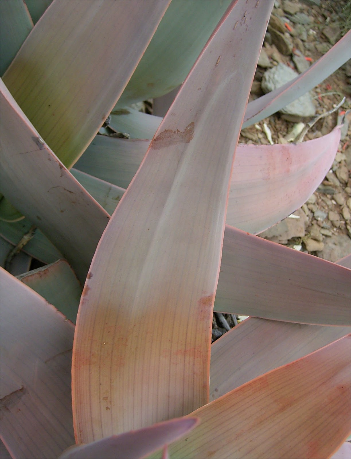 Aloe striata leaf