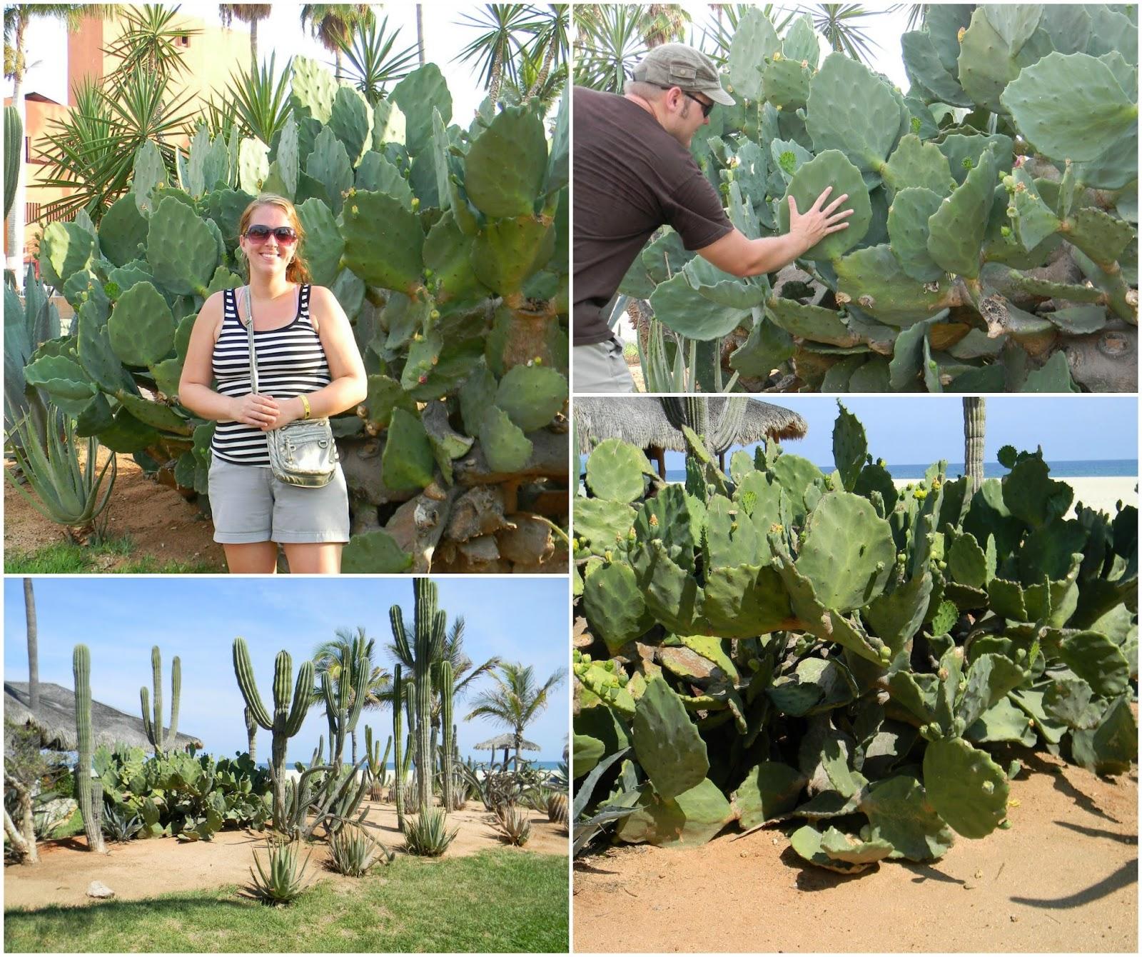 Cacti in San Jose del Cabo