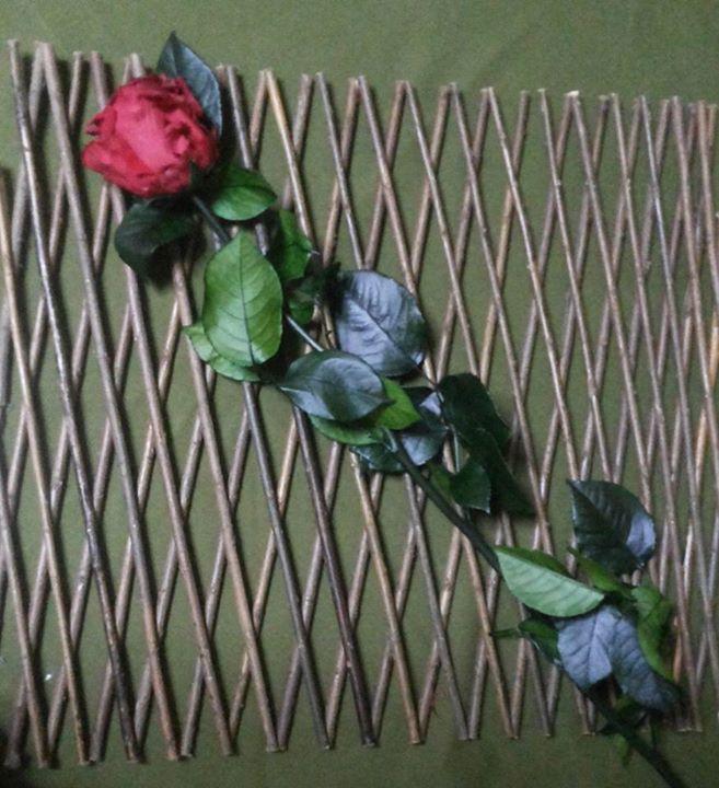 Rosas con Tallo Rojas Naturales Preservadas ¡Duran 4 Años! Santa Ana, El Salvador
