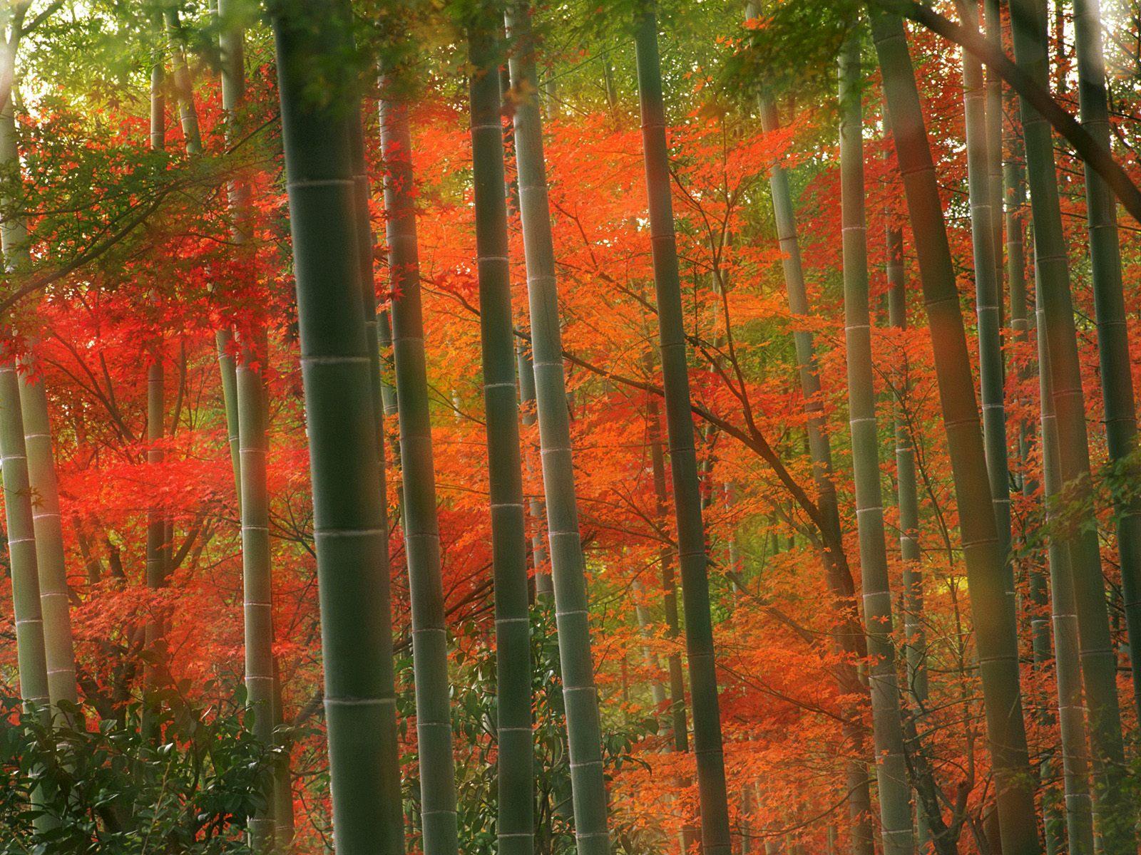 http://2.bp.blogspot.com/-GI4tyfWU-9g/Tk062dyeIQI/AAAAAAAAI48/u_ei9io9CwI/s1600/bamboo+wallpaper+Forest.jpg