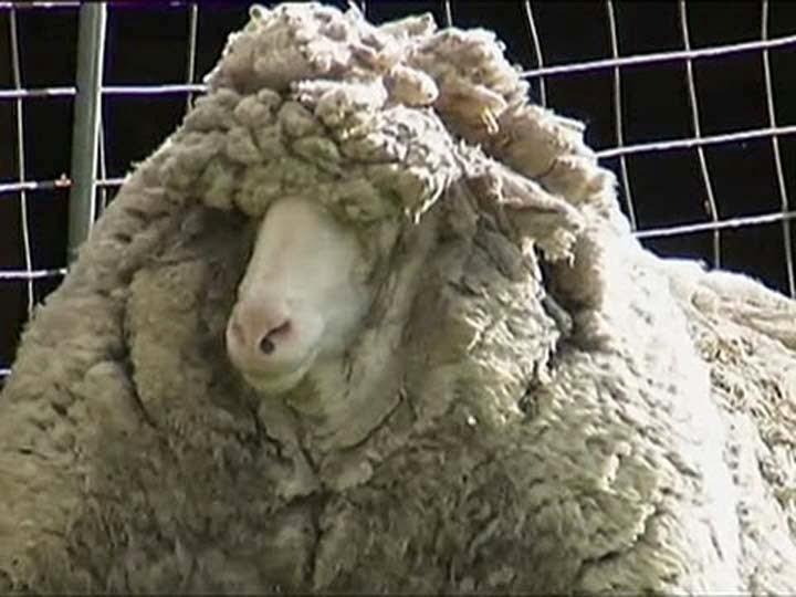 domba-berbulu-lebat