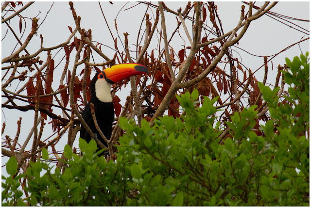 A photograph of a Toco Toucan taken in the Pantanal in Brazil