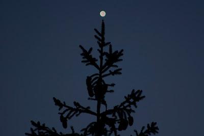 venus pine tree
