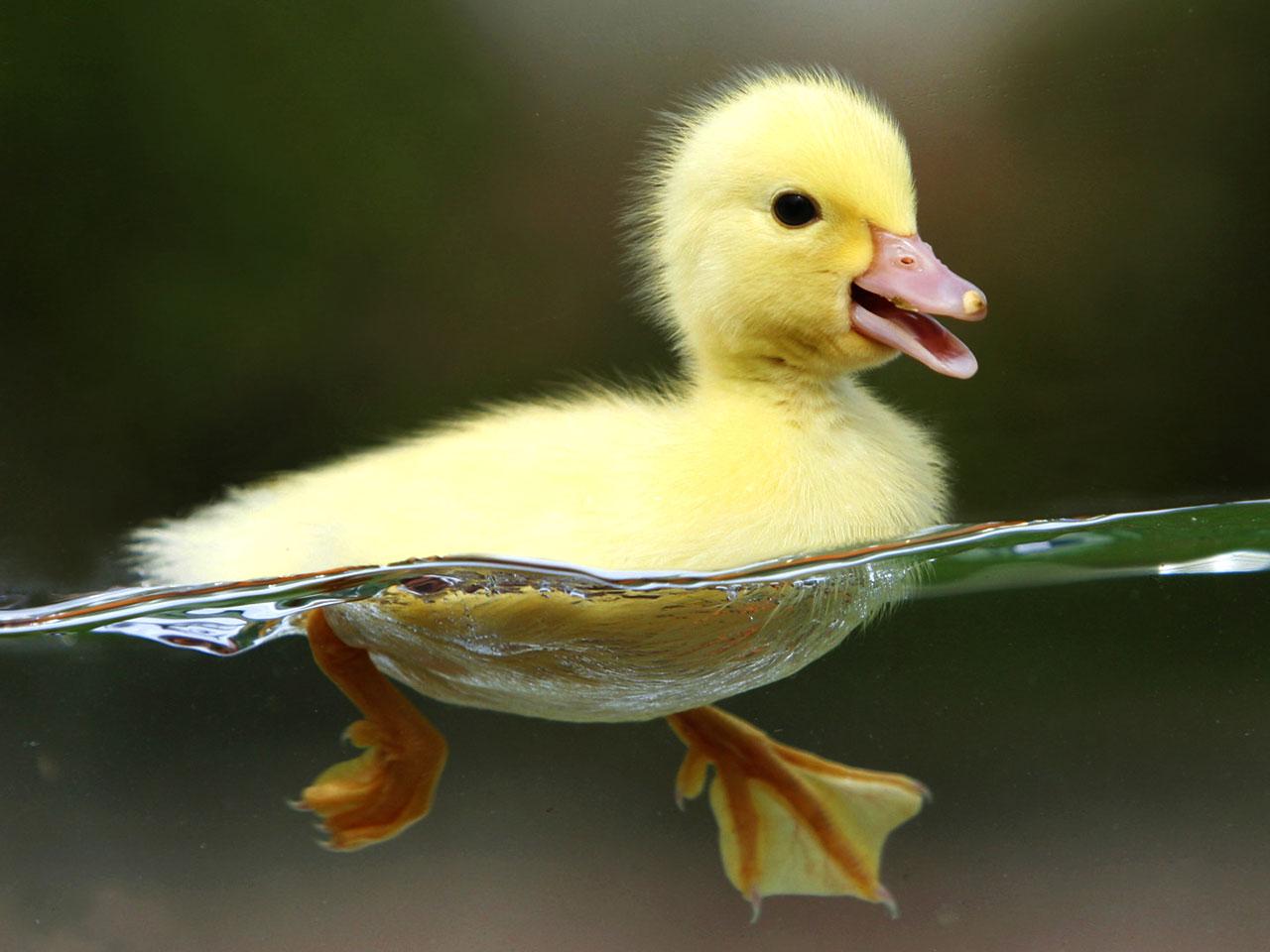 http://2.bp.blogspot.com/-GIUFbPRCIaM/UUCXfR0VbqI/AAAAAAAAIUI/P69-NQlBCSo/s1600/Yellow+Duck+Wallpaper+02.jpg