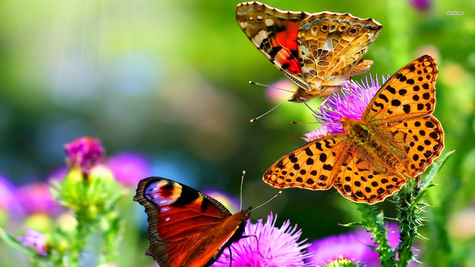 HD Butterfly Wallpapers Free Download HD Butterflies