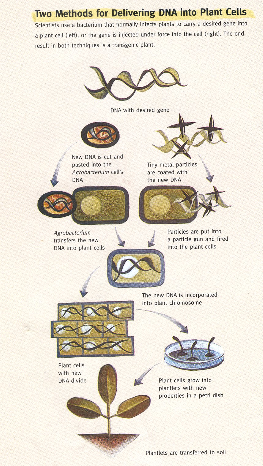what are gmo\u0027s ? how are gmo\u0027s made? Genetically Modified Organism in this diagram you can observe the exact process of how gmo\u0027s are made www odec ca projects 2003 britt3m public_html makinggmo htm