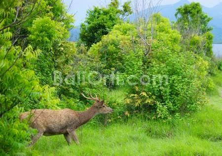 Deer in Menjangan Island