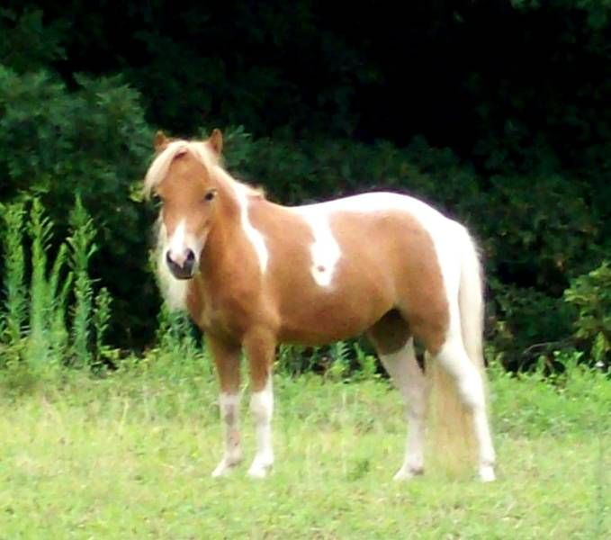 HD Animals Wallpapers: Miniature Horse