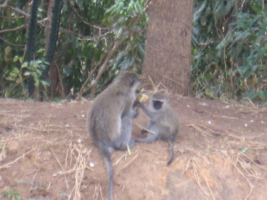 Monkeys in Lira.
