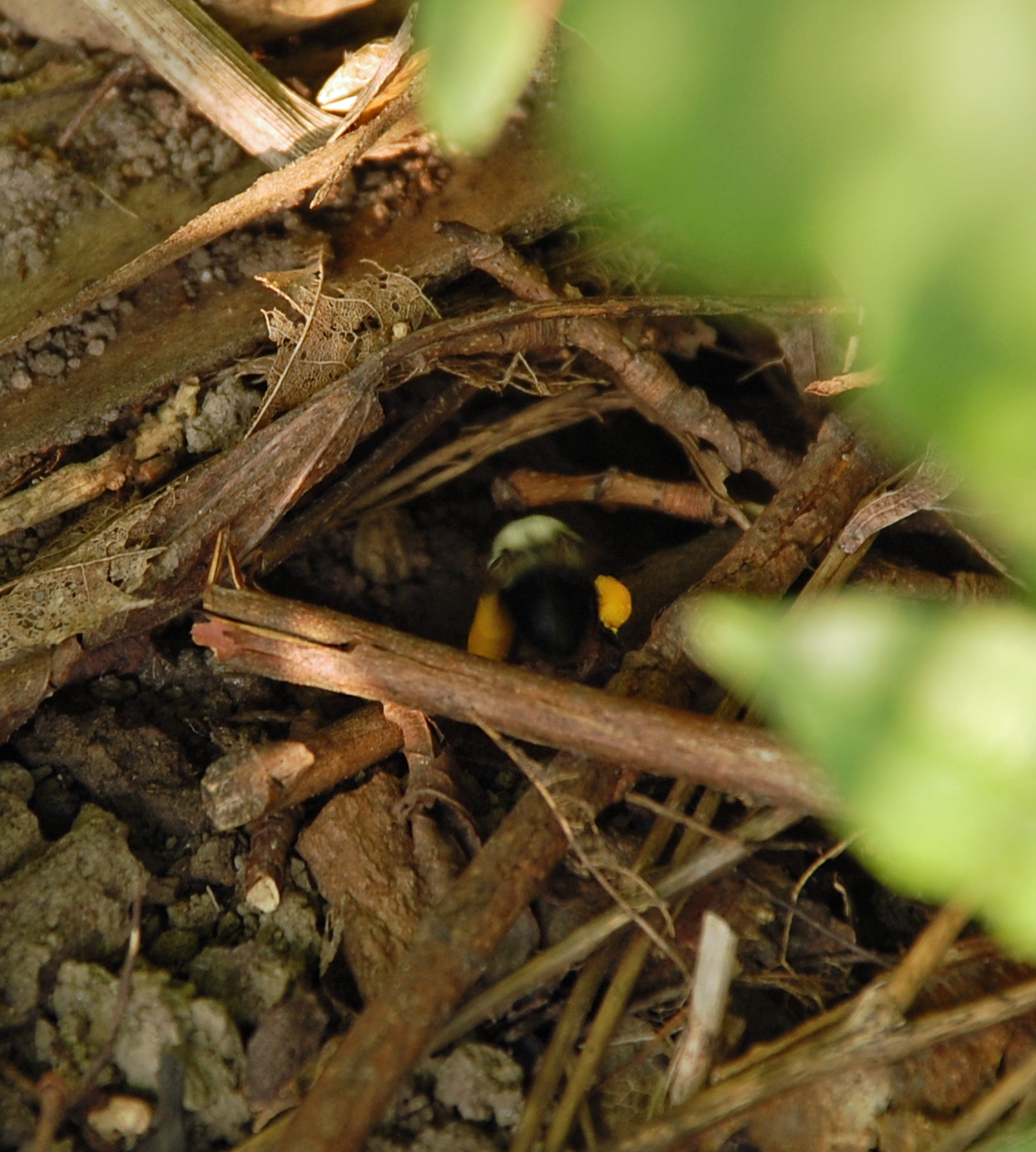 Bumblebee nest - photo#17