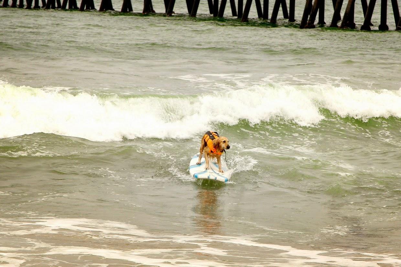 surf para perros