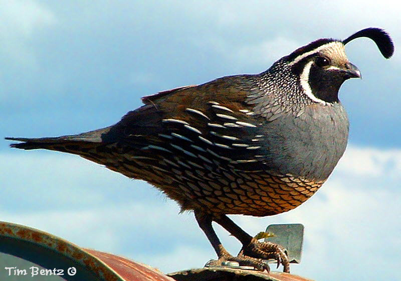 animal wildlife quail the quail is a small bird that inhabits woodland ...