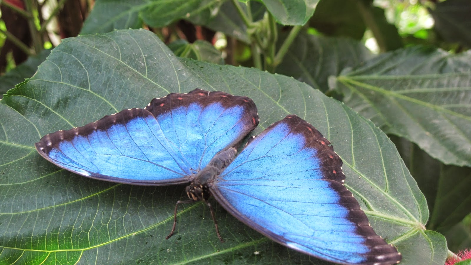Floral boom september 2014 the upperside of wings are metallic blue the underside is brown with a line of large ocelli eyespot at the base of the postdiscal wing area area buycottarizona