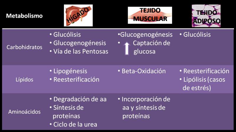 Efectos de la Insulina | Endobioquimicología