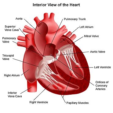 Kesehatan Jantung,kesehatan jantung,kesehatan jantung dan paru-paru,kesehatan jantung dan pembuluh darah,kesehatan jantung manusia,kesehatan jantung ppt,kesehatan jantung sehat,kesehatan jantung anak,kesehatan jantung herbalife,kesehatan jantung berdebar,pemeriksaan kesehatan jantung
