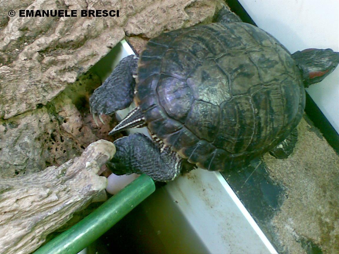 Allevamento amatoriale tartarughe acquatiche dalle for Deposizione uova tartarughe terrestri