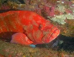 Ikan Kerapu Bara